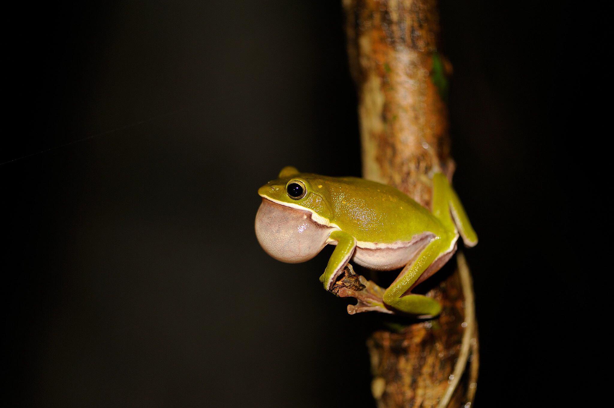 諸羅樹蛙保育 催生台糖土地信託運動