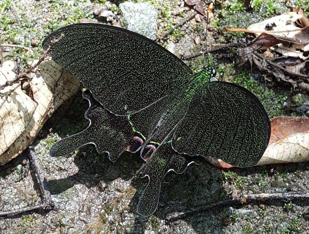 台灣烏鴉鳳蝶