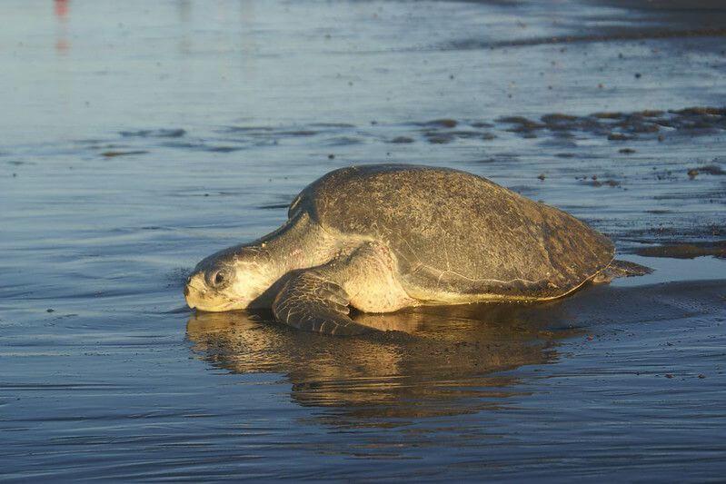 墨西哥太平洋海岸 守護海龜