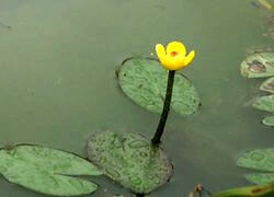 20071016-222901-Yellowwaterlili