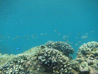 2013鼻頭角珊瑚礁體檢成果
