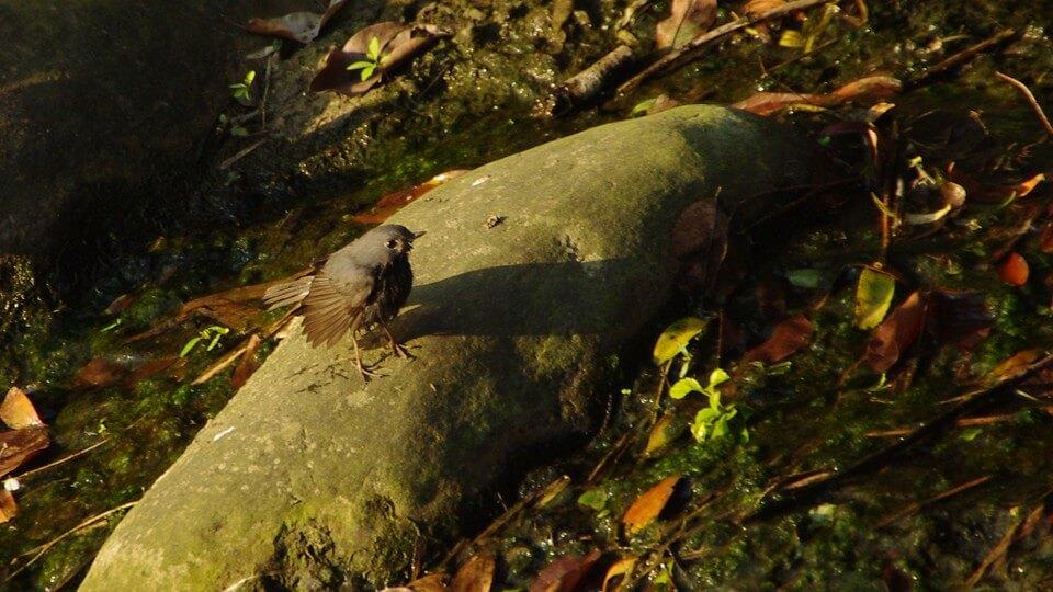 自然觀察 | 鉛色水鶇出浴照