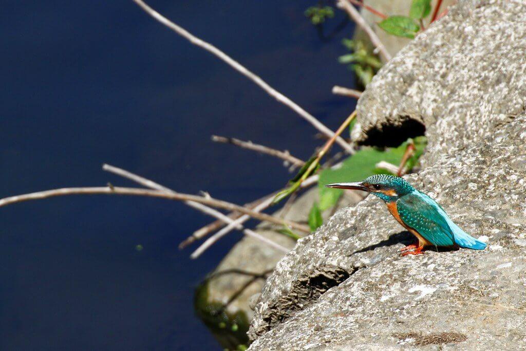 自然觀察 | 翠鳥