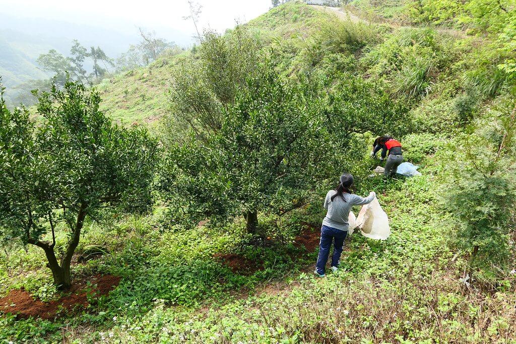 新竹鹿寮坑柑園 用改良土「手」護土壤健康