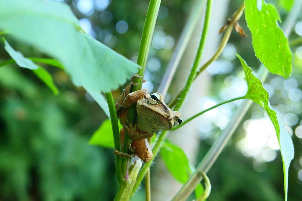 生態觀察 | 不是樹蛙?錯錯錯,叫「布氏樹...