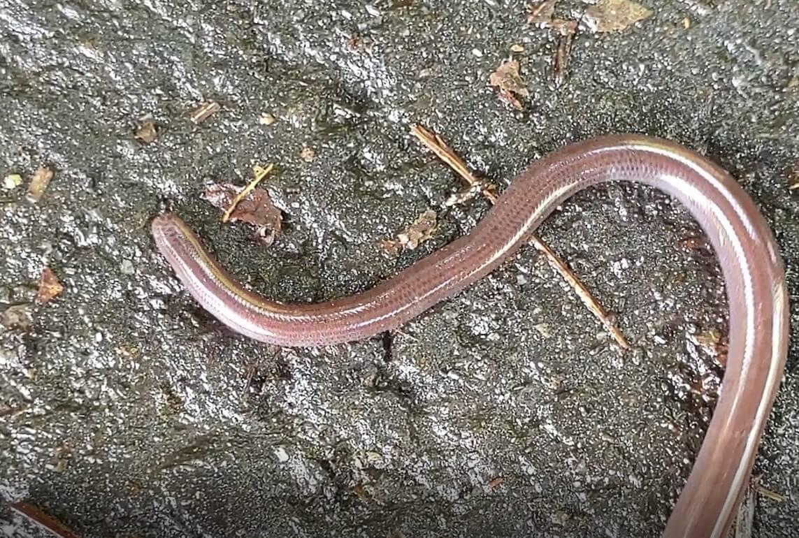 143_鉤盲蛇