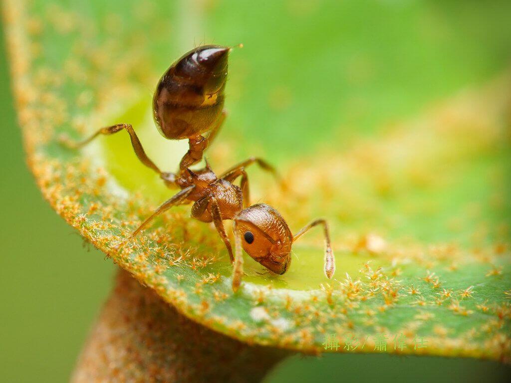 懸巢舉尾蟻